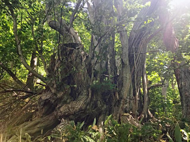 札幌中心部から4kmあまり、自然豊かな「円山原生林」があります。